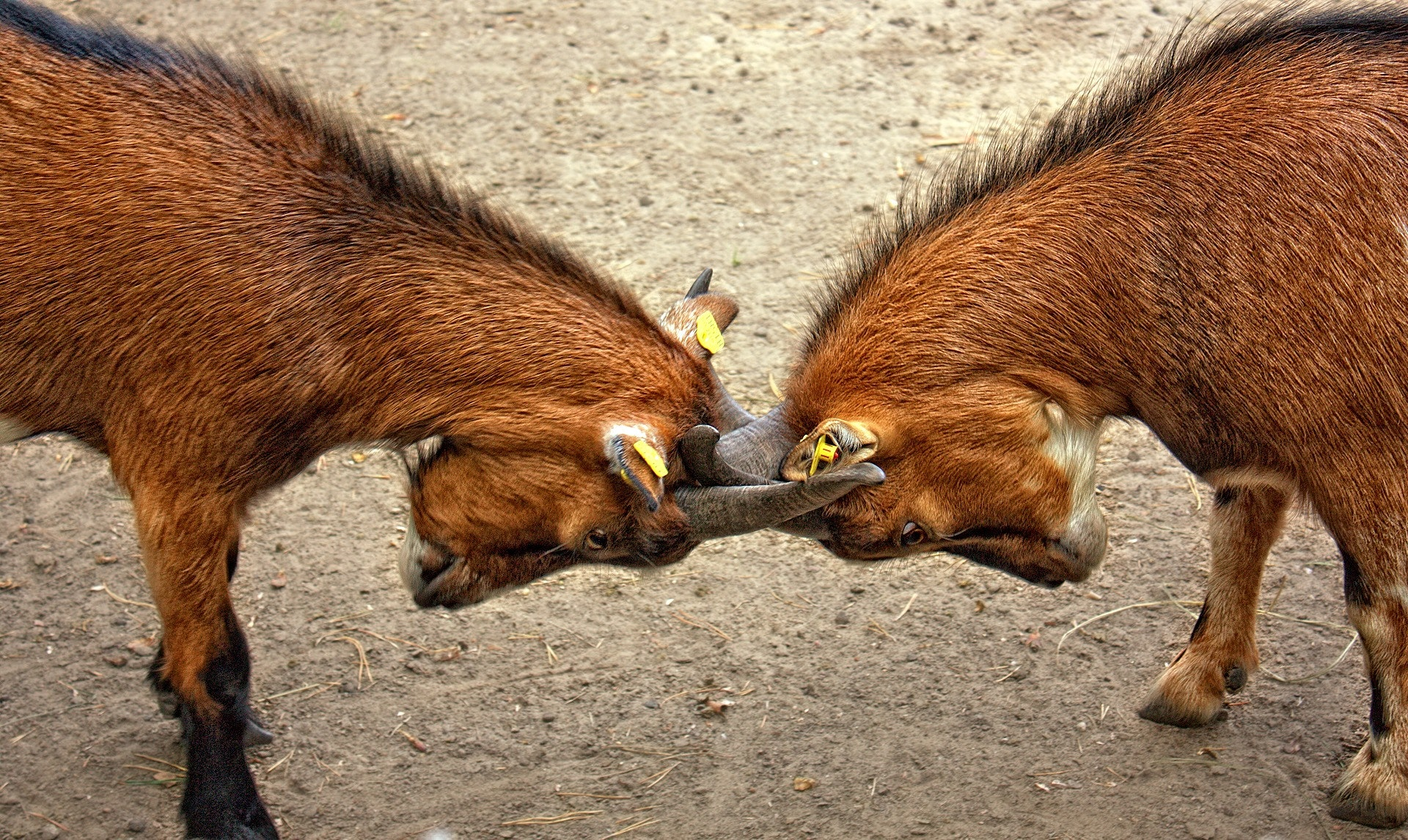 Image is of two brown, horned mammals (possibly goats) butting heads, both their gazes directed at the ground. The background is just beige dirt.